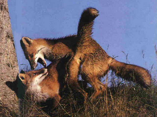 Mating Foxes